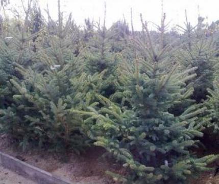 Brad argintiu (Picea Pungens Glauca) de la Sc Euroasis Srl