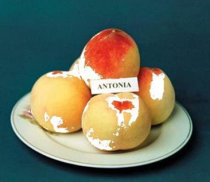 Pom fructifer Piersic de la Pepinierele Roman Srl