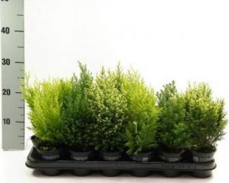Plante de exterior la ghiveci de 9 cm