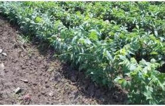 Puieti de nuc Izvor de la Pomi Fructiferi, Arbusti, Vita De Vie
