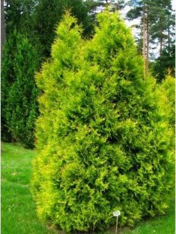 Arbust ornamental Thuja (Tuia) de la Pepiniera Neptun Srl