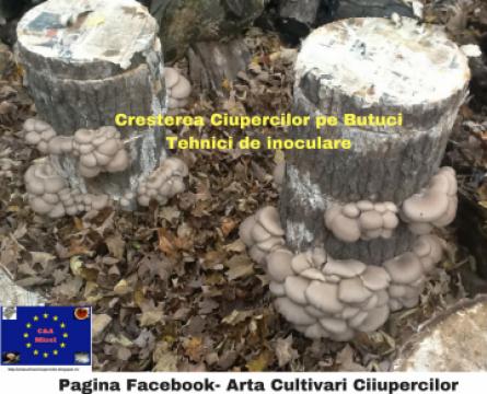 Miceliu pentru butuci pastrav de fag (pleurotus)