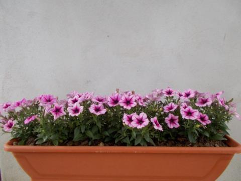 Jardiniera cu petunia curgatoare de la Sc Fabrica De Flori Natura Srl